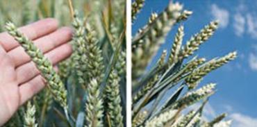semences-ble-agri-environnement